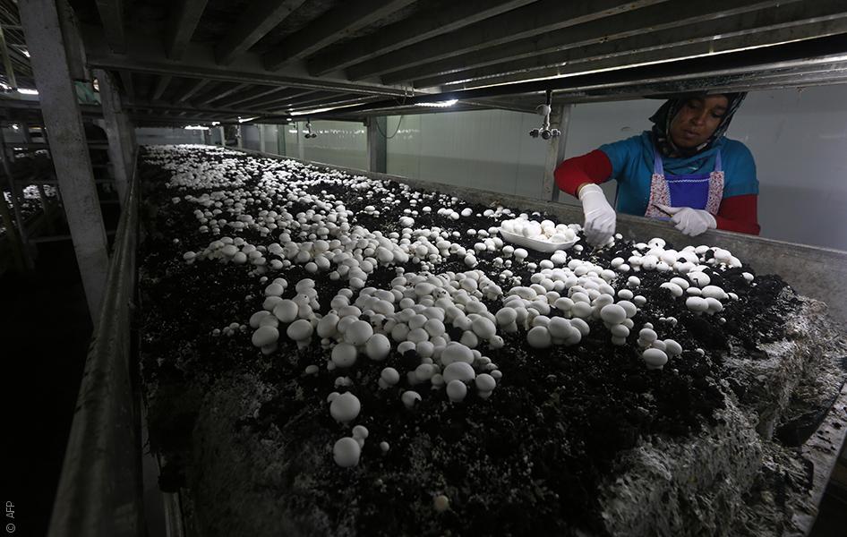 مزرعة نعام ومزرعة فطر: مشاريع فلسطينية زراعية غير مألوفة