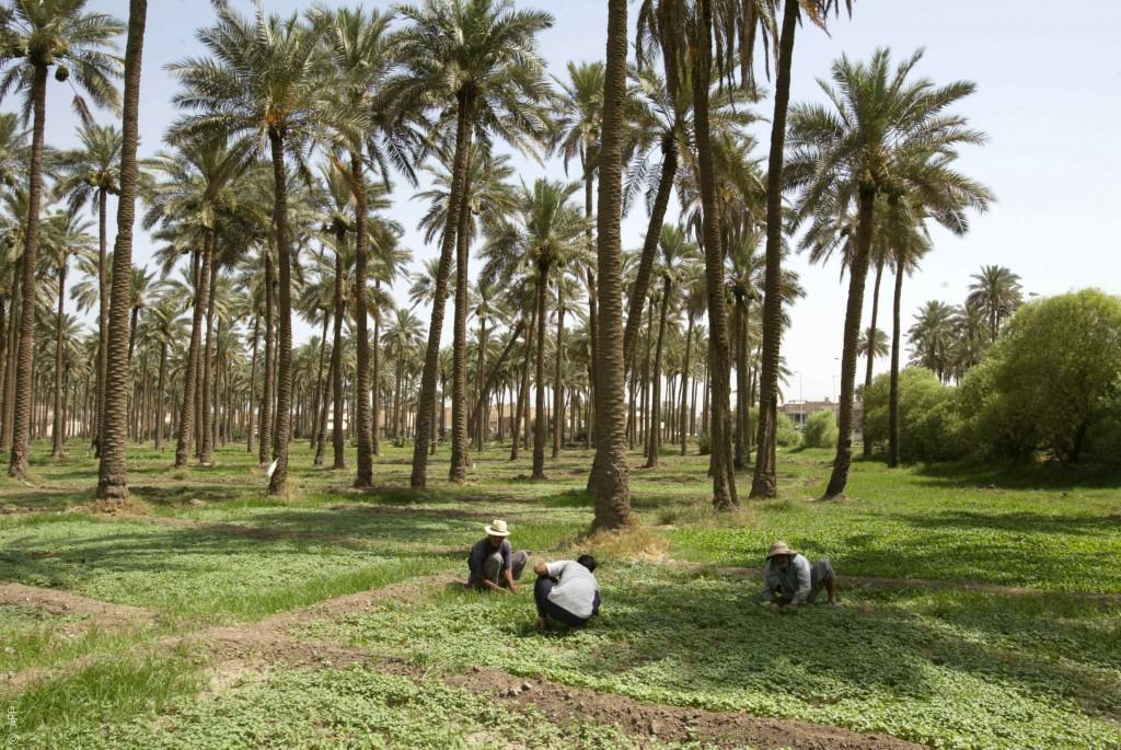 زراعة العراق تتعرض لمجزرة: خسارة 14 مليون نخلة