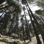 المغرب يحاول جاهداً الحفاظ على ثروته من أشجار الأرز