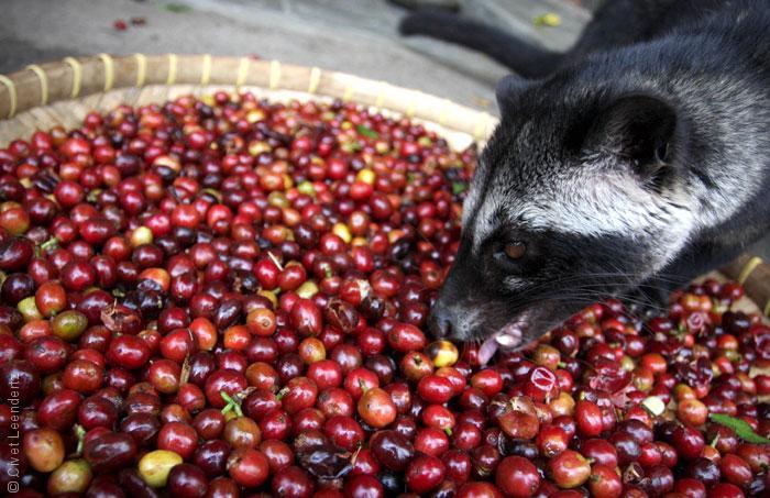 5 من أغلى أنواع القهوة في العالم رصيف 22