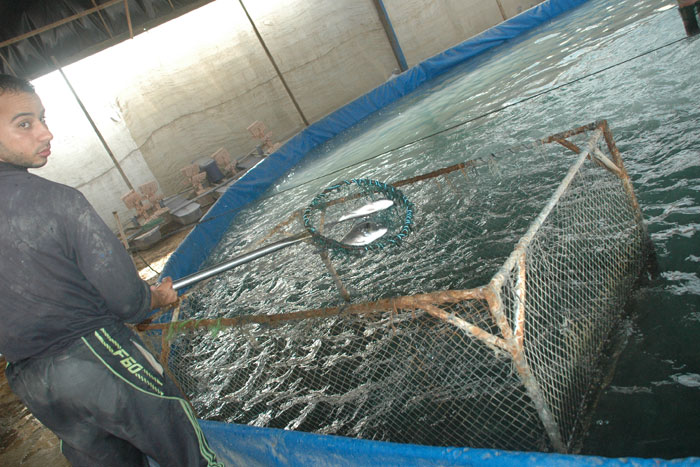 الاستزراع السمكي في غزة