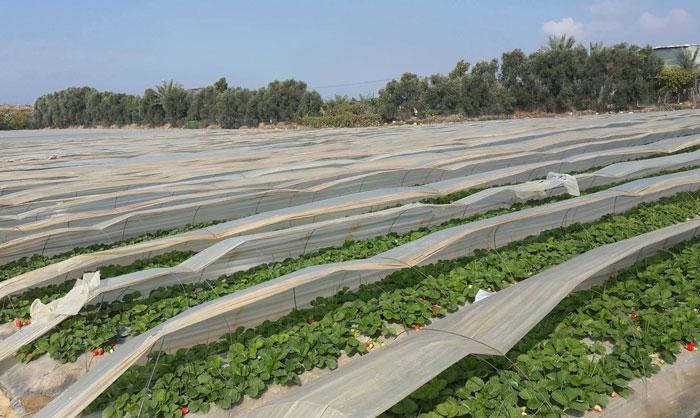 فريز غزة إلى أوروبا .. توت غزة الأرضي يصل إلى الأسواق الأوروبية - صورة 6