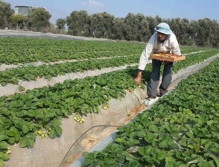 فريز غزة إلى أوروبا .. توت غزة الأرضي يصل إلى الأسواق الأوروبية - صورة 2