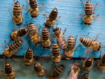 العلاج بلسعات وسمّ النحل في غزة