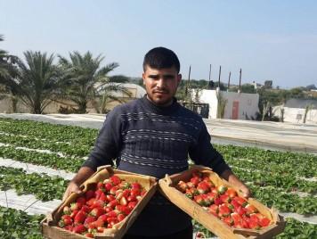 """""""التوت الأرضي"""" يخترق حصار قطاع غزّة ويصل إلى الأسواق الأوروبية"""