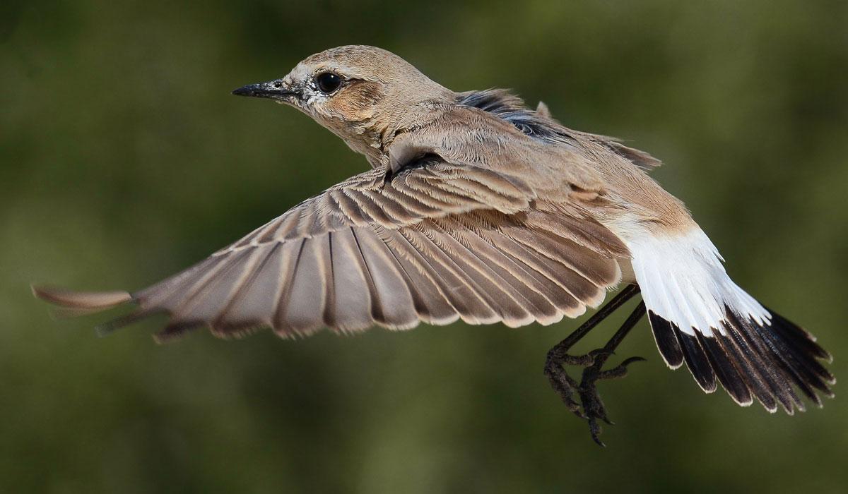 طائر-الأبلق-الرملي